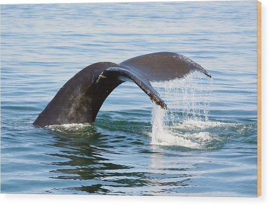 Humpback Whale Fluke. Wood Print