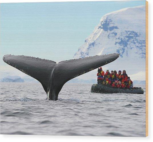 Humpback Whale Fluke  Wood Print
