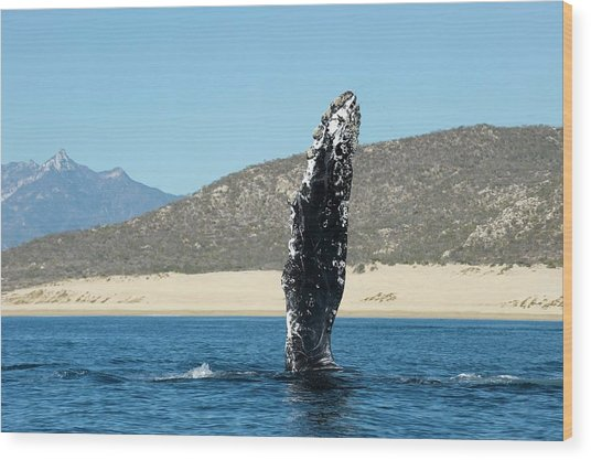 Humpback Whale Pectoral Fin Wood Print by Christopher Swann