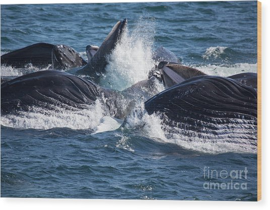 Humpback Whales Feeding Wood Print