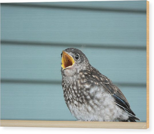 Hungry Baby Bluebird  Wood Print