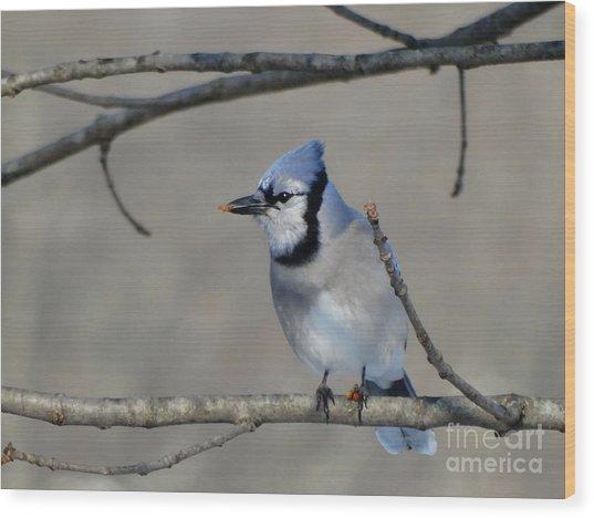 Hungry Blue Jay Wood Print