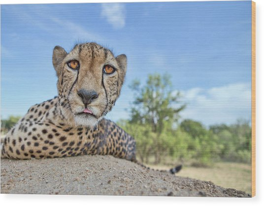 Hungry Cheetah Wood Print by Alessandro Catta