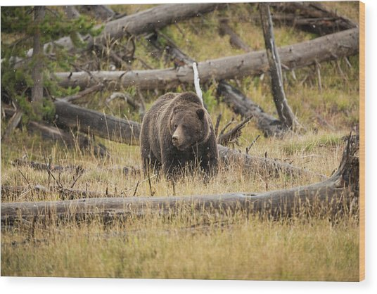 Hungry Grizzly Bear Wood Print by © J. Bingaman Photography
