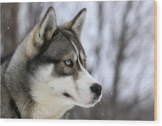 Husky Looking Away, Quebec, Canada Wood Print by Jonathan