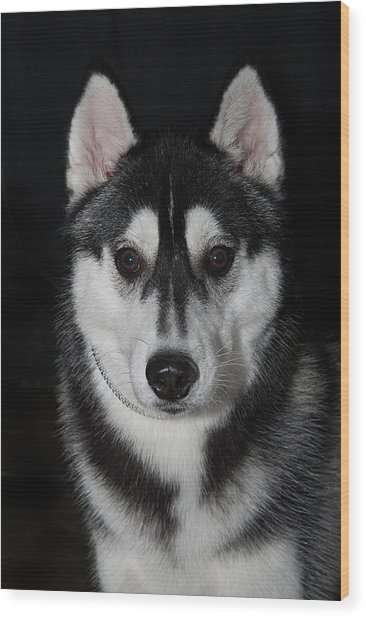 Husky Portrait Wood Print