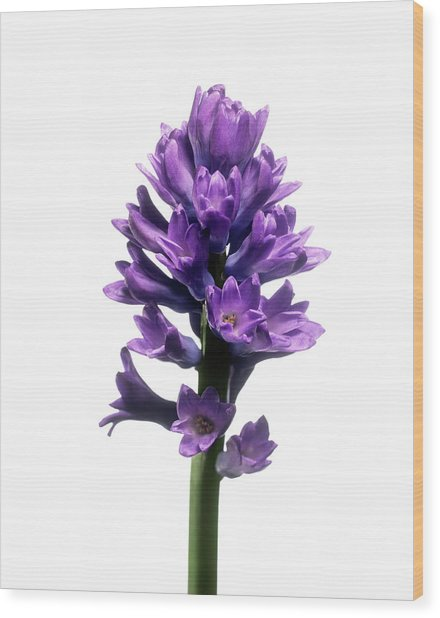 Hyacinth (hyacinthus Sp.) Wood Print by Derek Lomas / Science Photo Library