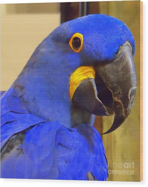 Hyacinth Macaw Portrait Wood Print