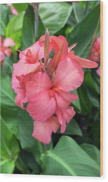 Hybrid Cana Lily, Usa Wood Print