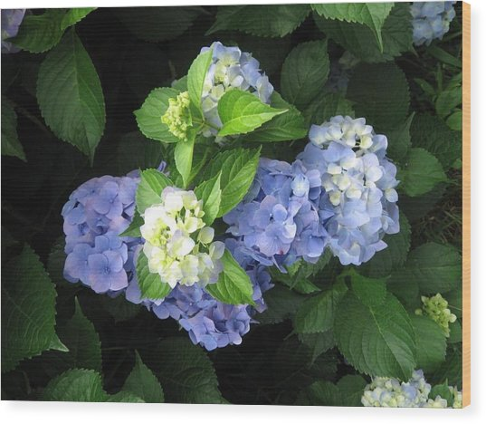 Wood Print featuring the photograph Hydrangea by Deb Martin-Webster