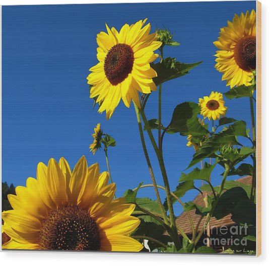 I Girasoli Dietro Casa Mia - Sunflowers In The Field Behind My House. Wood Print