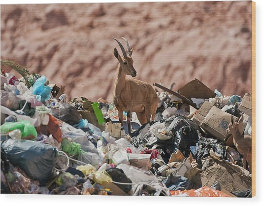 Ibex In City Dump Wood Print by Photostock-israel