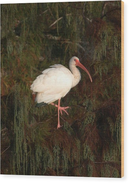 Ibis In The Cypress Wood Print by Jeff Wright