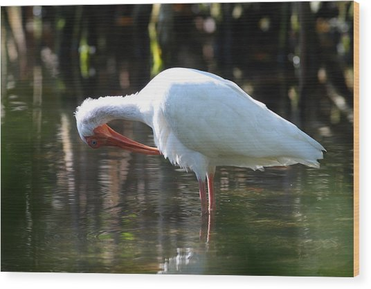 Wood Print featuring the photograph Ibis Preening by Daniel Reed
