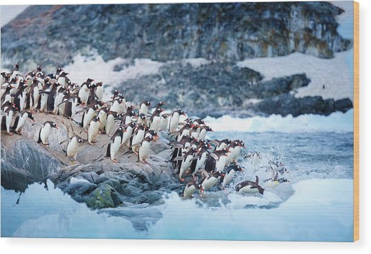 Ice Swimmers Wood Print by David Merron Photography