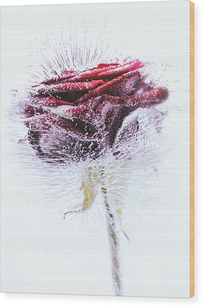 Icerose Wood Print