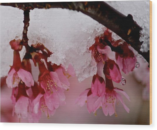 Icy Cherry Blossoms Wood Print