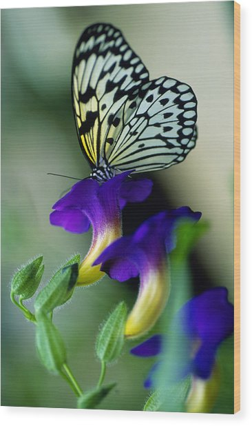Idea Lecomoe Tree Nymph Butterfly On Wood Print by David Q. Cavagnaro