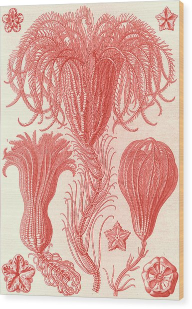 Illustration Shows Marine Animals. Crinoidea Wood Print by Artokoloro