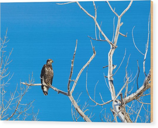 Immature Bald Eagle Wood Print
