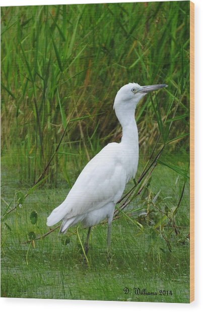 Immature Little Blue Heron Wood Print