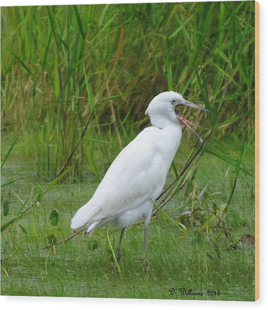 Immature Little Blue Heron Yawning Wood Print
