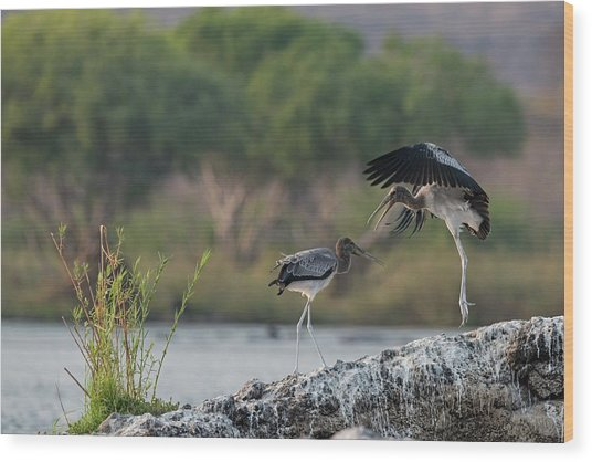 Immature Yellow-billed Storks At Play Wood Print by Tony Camacho/science Photo Library