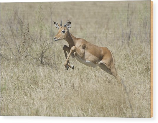 Impala Leaping Through Savanna Wood Print by Richard Berry
