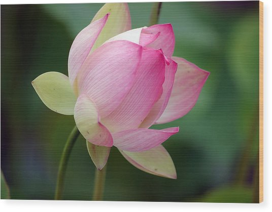 Wood Print featuring the photograph In Bloom by Mike Trueblood