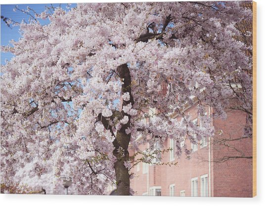 In Its Glory. Pink Spring In Amsterdam Wood Print