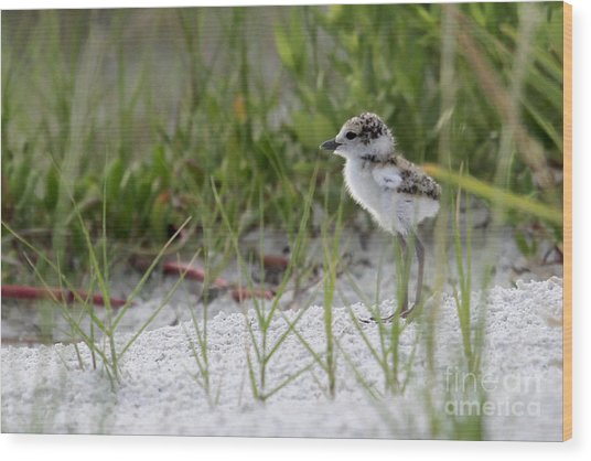 In The Grass - Wilson's Plover Chick Wood Print