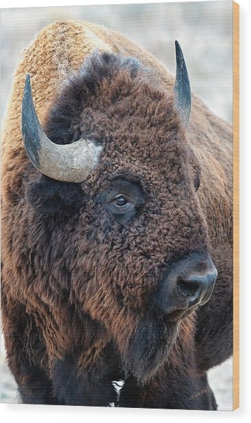 In The Presence Of  Bison  Wood Print