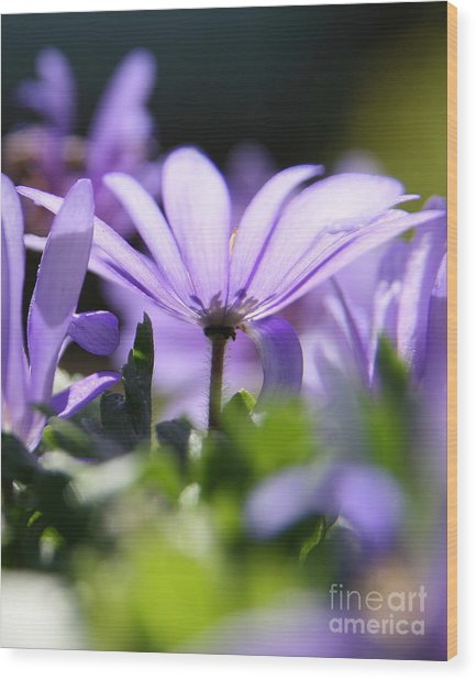 Floral Purple Light  Wood Print