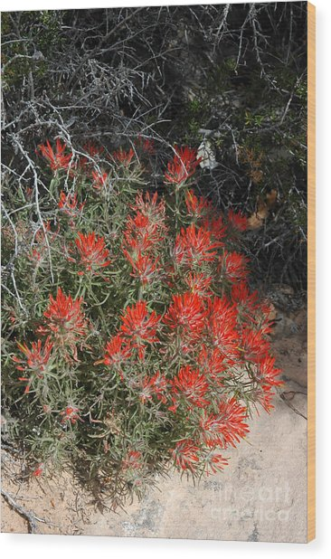 333p Indian Paintbrush Flower Wood Print