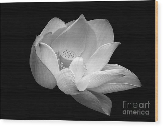 Indian Sacred Lotus In Black And White Wood Print