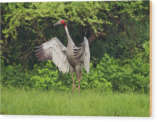 Sarus Crane Wood Prints and Sarus Crane Wood Art | Pixels