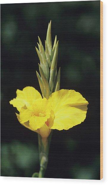 Indian Shot Flower Wood Print
