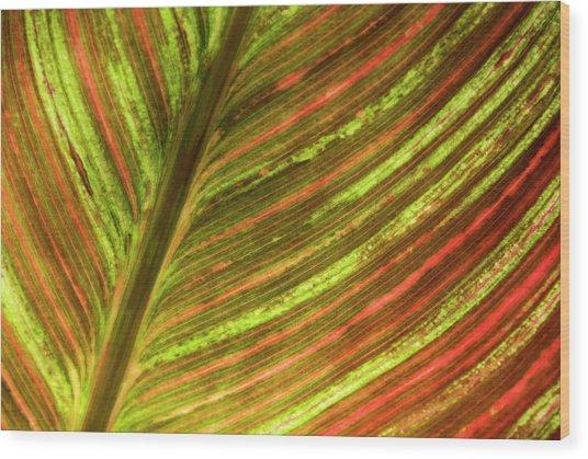 Indian Shot Plant Wood Print