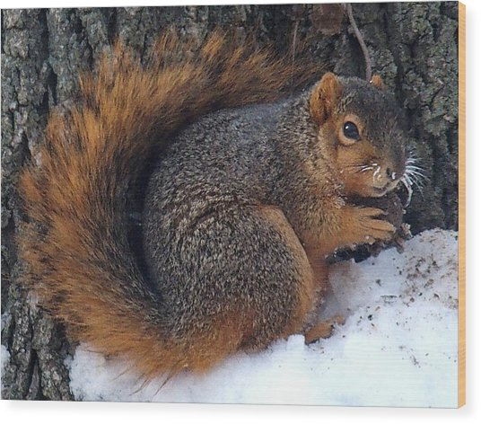 Indiana Squirrel In Winter With Nut Wood Print