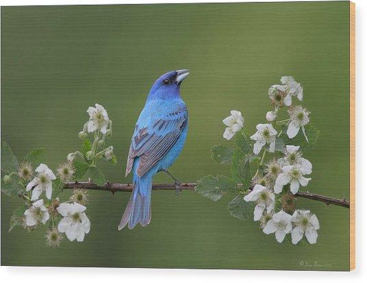 Indigo Bunting On Berry Blossoms Wood Print