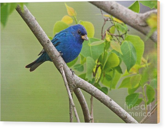 Blue Indigo Bunting Bird  Wood Print