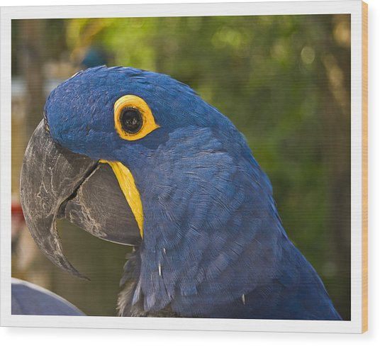 Indigo Macaw Wood Print