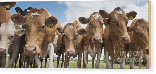 Inquisitive Cows Wood Print