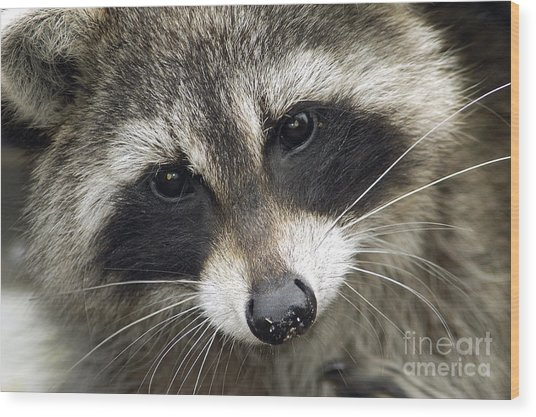 Inquisitive Raccoon Wood Print