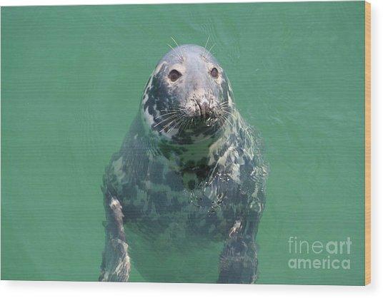 Inquisitive Seal Wood Print