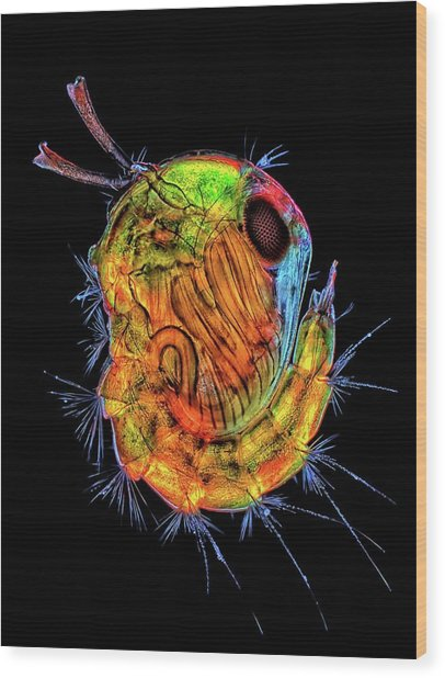 Insect Pupa Wood Print by Rogelio Moreno/science Photo Library