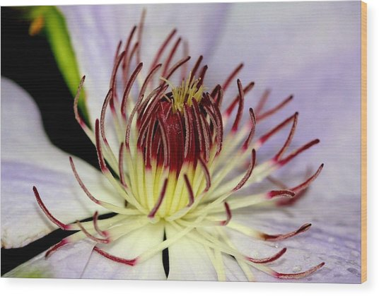 Inside A Clematis Wood Print