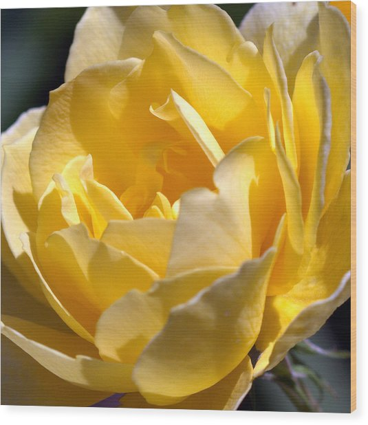Inside The Yellow Rose Wood Print