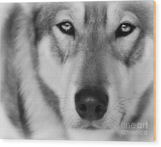 Intence Sled Dog Black And White Wood Print