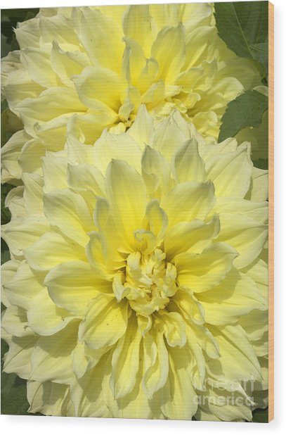 Intense Yellow Dahlias Wood Print